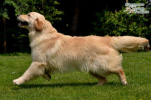 Aupa space odissey gio golden retriever 8