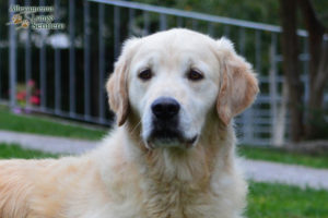 Great Bentley du Clan de Galadorbe Golden Retriever viso